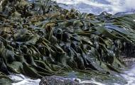Les algues vertes affectent essentiellement le tourisme des communes de baignade de la côte bretonne