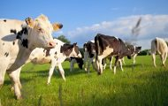 Les éleveurs laitiers s'engagent pour le climat